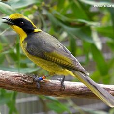 The Helmeted Honeyeater is Victoria's state emblem and is at risk of being lost forever. Due to loss of habitat, the Helmeted Honeyeater is Critically Endangered. Zoos Victoria has led the captive-breeding program for more than 20 years and Healesville Sanctuary has conducted the release of more than 200 captive bred Helmeted Honeyeaters into the wild. Help us spread the word about this little local bird by sharing the photo with your friends. To get involved visit…