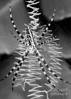Zipper Orb Spider