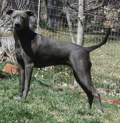 blue lacy dog photo | ... registered Blue Lacy, photo courtesy of High Desert's Blue Lacy Dogs