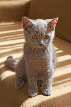 Excellent Pics gray cat breeds Style Cats and kittens with large the ears may possibly be probably the most attractive critters inside the world. Cute Kittens, Beautiful Cats, Animals Beautiful, Beautiful Pictures, Grey Cat Breeds, Baby Animals, Cute Animals, Tier Fotos, Grey Cats