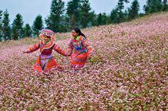 """Vào cuối thu, Hà Giang sẽ bước vào mùa hoa tam giác mạch tuyệt đẹp. Hãy đừng bỏ lỡ cơ hội chiêm ngưỡng vẻ đẹp man dại của loài hoa này và lưu lại những bức ảnh tuyệt đẹp cùng """"Tour Hà Giang mùa hoa tam giác mạch"""" dành cho giới trẻ của PYS Travel bạn nhé."""