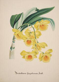Collection d'orchide?esaquarelles originales.