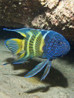 underthevastblueseas:  Eastern Blue Devil - Paraplesiops bleekeri // via