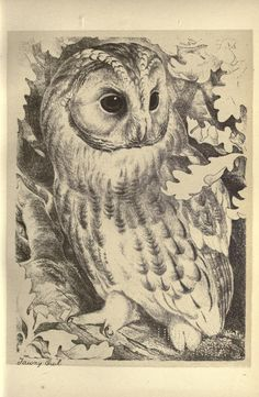 Tawny Owl. Birds from Moidart and elsewhere  Edinburgh :David Douglas,1895.  Biodiversitylibrary. Biodivlibrary. BHL. Biodiversity Heritage Library