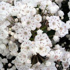 Kalmia latifolia 'Vanilla Cream' Kalmia Latifolia, Flowering Shrubs, Vanilla Cream, Garden Landscaping, Plants, Flowering Bushes, Front Yard Landscaping, Plant, Planets
