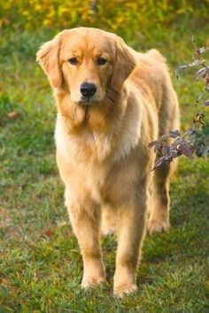Golden Retrievers. I am obsessed with how GORG they are
