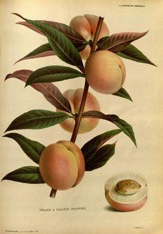 Purple-leaved peach. L'Illustration horticole new ser.:v.1-2 (1874-1875) Gand, Belgium :Imprimerie et lithographie de F. et E. Gyselnyck,1854-1896. Biodiversitylibrary. Biodivlibrary. BHL. Biodiversity Heritage Library