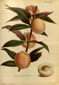 Purple-leaved peach. L'Illustration horticole new ser.:v.1-2 (1874-1875) Gand, Belgium :Imprimerie et lithographie de F. et E. Gyselnyck,1854-1896. Biodiversitylibrary. Biodivlibrary. BHL. Biodiversity Heritage Library