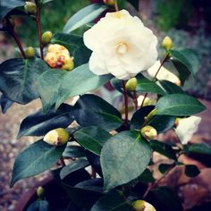 De Japanse roos in bloei. #camelia