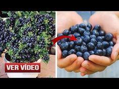 Deja de Comprar Arándanos. ¡Aquí Verás Cómo Cultivar tu Propio Suministro Permanente en Casa! - YouTube