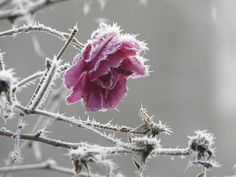 a rose  by weirdcrank, via Flickr
