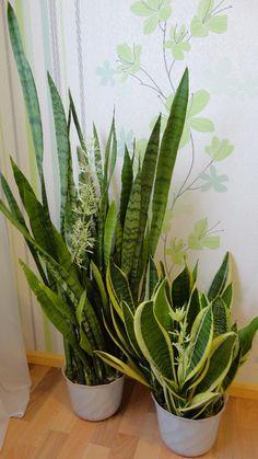 Лучший способ улучшить атмосферу и микроклимат в доме - завести известный цветок сансевьеру, который также известен в народе, как щучий хвост, индийский меч, змеиная кожа или леопардовая лилия. Комна…