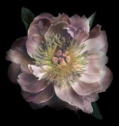 Pink Peony Photo | Zauberhafte Bilder | Pinterest | Blumen, Blumen pflanzen und Zauberhaft