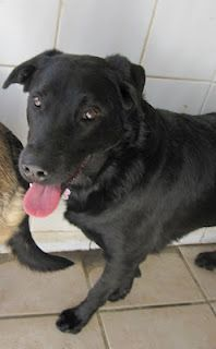 Bear is 2 years old and sadly needs a new home because her owner died. Her mother, Rusty, is a German Shepherd crossbreed and her father a labrador. She is used to living with cats and ideally we would like to home her with her mother as theyre very bonded