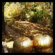 Gold painted pumpkins #Thanksgiving #Halloween