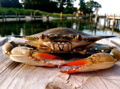 Blue Crab Photograph
