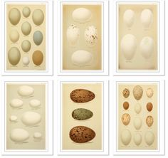 Free Vintage Egg images from Vintage Printable... all free downloadable, high-resolution, out-of-copyright  images of vintage prints. A real resource for the vintage lover.