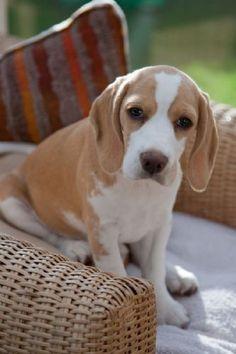 Beagle girl Sophie