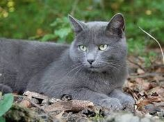 Image result for russian blue images 2000 pixels