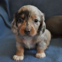 Dachshund Puppy Love