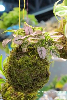 String #gardens - hanging plants set in moss balls. Love.