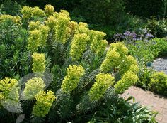 euphorbia characias subsp. wulfenii Great plant but needs sun. flowers Mar-May in lime green. Rest time has blue-green leaves in mounds.