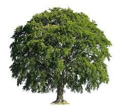 Znalezione obrazy dla zapytania beech tree