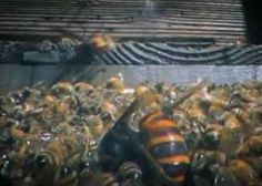 Look How 30 Giant Hornets Kill 30,000 Honey Bees In 3 Hours #Pets #Animals