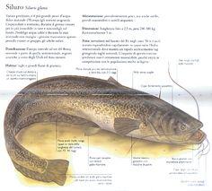 TecaLibri: Malcolm Greenhalgh: Riconoscere i pesci d'acqua dolce