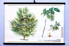 Vintage school wall chart botanical original Hornbeam art poster Rare home decor Vintage School, Botanical Wall Art, Chart, The Originals, Plants, Poster, Home Decor, Decoration Home, Room Decor