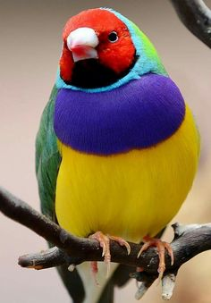 The beautiful but threatened Gouldian Finch, which in the wild, can only be found in northern Australia. Most Beautiful Birds, Pretty Birds, Exotic Birds, Colorful Birds, Exotic Animals, Animals Of The World, Animals And Pets, Beautiful Creatures, Animals Beautiful