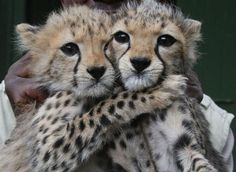 Leopards hugging