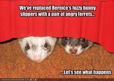 Ferret fans will get a kick out of this