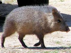 Javalina, famous for rooting through gardens and pulling up flowers and bulbs!