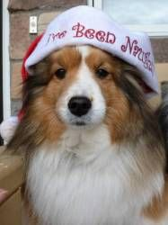 Scootzie - gentle 'Golden Girl' is an adoptable Shetland Sheepdog Sheltie Dog in Circle Pines, MN. I hear only positive feedback from foster mom about how cute/how beautiful my face is, and that my fu...