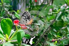 A Common Red Pierrot butterfly sitting on euphorbia flower.