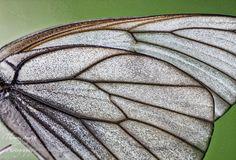 Butterfly Wing Macro - Butterfly wing in macro found in Odori Park Sapporo Japan