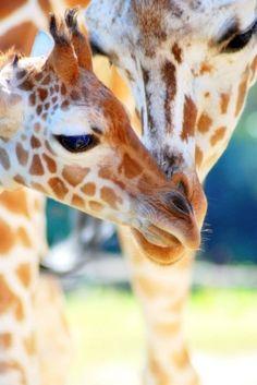 giraffe baby and mama Giraffe Art, Cute Giraffe, Cartoon Giraffe, Giraffe Pictures, Animal Pictures, Cute Baby Animals, Animals And Pets, Wild Animals, Beautiful Creatures