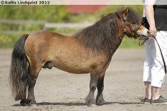 Shetland Pony - stallion Parlington Viking