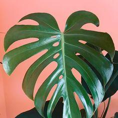 Holy moly, I just LOVE this new leaf so much! ❤️ . . . . . . #urbanjungle #urbanjunglebloggers #houseplants #houseplantclub #jungalowstyle #monsteramonday #monstera #monsteradeliciosa #plants #plantsofinstagram #plantsonpink #plantlove