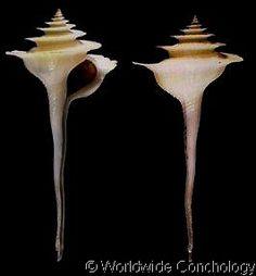 Fulgurofusus (Fulgurofusus) brayi  (Clench, W.J., 1959)   Bray's Pagoda Shell   Shell size 30 - 73 mm   Panama - Venezuela; Nevis