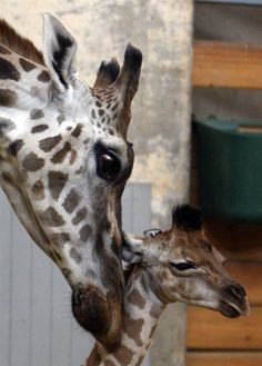 Mother giraffe, Ingrid, nudges her 4-day-old newborn at the zoo in Budapest, Hungary on April 6.
