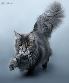 maine-coon http://www.mainecoonguide.com/male-vs-female-maine-coons/