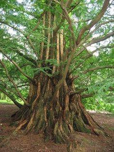 "Cupressaceae Metasequoia glyptostroboides ""Dawn Redwood"""