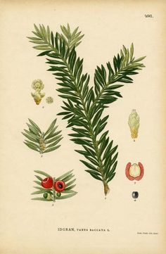 A botanical image of the poisonous tree English... | The Poison Diaries