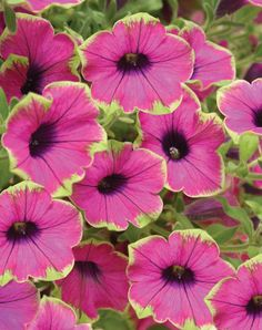 Supertunia® Pretty Much Picasso® is the first petunia with a lime-green picotee edge. Petunias love full sun, being water and fertilized on a regular basis for optimal performance. This variety is a must-have for any gardener.