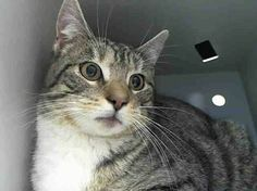 SAFE! TO BE DESTROYED 2/14/14 ** SAVE A LIFE FOR VALENTINE'S DAY. CONTACT A RESCUE AND FILL OUT AN APPLICATION. GET THIS TOMBOY A HOME!! Brooklyn Center My name is TOM. My Animal ID # is A0991370. I am a female brn tabby and white domestic sh mix. The shelter thinks I am about 2 YEARS I came in the shelter as a STRAY on 02/09/2014 from NY 11360. https://www.facebook.com/PetsOnDeathRow/photos/a.576546742357162.1073741827.155925874419253/746723108672857/?type=1&relevant_count=1