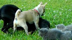 Brave Chihuahua Protects Kittens! | The Animal Rescue Site Blog