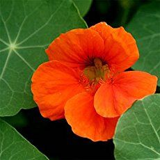Why Your Garden Needs Nasturtiums; There are just some plants that should be grown in every garden. There are just some plants that should be grown in every garden. Nasturtiums are one such plant! Find out why you need Nasturtiums in your garden!