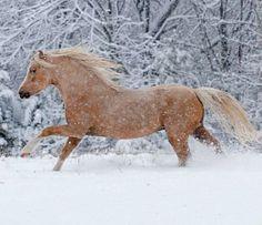 Palomino sabino Welsh Mountain Pony section A stallion, Mt. Ridge Yellow Jacket. In the snow.